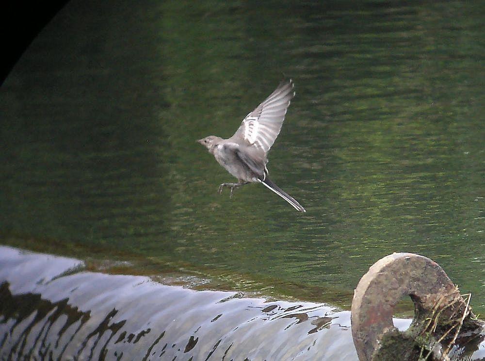 ハクセキレイの飛翔1